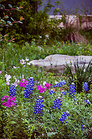 Phlox drummondii with lupines (Texas bluebonnet) Lupinus texensis in wildflower meadow garden at the National Wildflower Research Center Austin, Texas