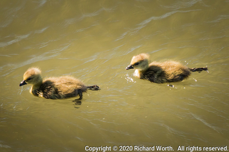 A pair of goslings, baby Canada geese, exploring on a warm spring day.