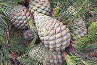 Knobcone pine tree green closed cones Salt Point California