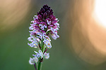 Burnt or Burnt-tip Orchid (Neotinea ustulata) against the rising sun in a Alpine meadow. Tyrol, Austria.