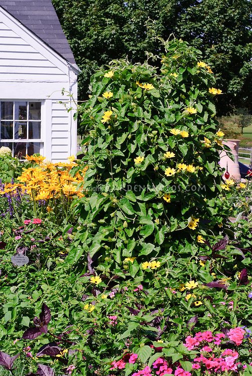 Climbing Vine Thunbergia alata 'Sunny Yellow Star' in border with Lilium, Impatiens, Salvia farinacea, Verbena, and house
