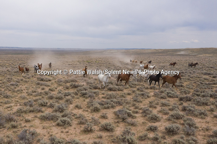 Pictured: Dust blows through the air as horses trot across the rugged landscape.   The wild mustangs gallop along the dusty path as they head towards watering holes.<br /> <br /> Charging past the dry, rocky valley, the free-roaming horses seek out their next grazing area.   Husband and wife duo Pattie and George Walsh, from Arizona, USA, spotted the horses in Rock Springs, Wyoming, USA.   SEE OUR COPY FOR DETAILS<br /> <br /> Please byline: Pattie Walsh/Solent News<br /> <br /> © Pattie Walsh/Solent News & Photo Agency<br /> UK +44 (0) 2380 458800