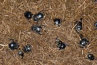 Waldmistkäfer, Wald-Mistkäfer, und andere Mistkäfer-Arten, Mistkäfer, Ansammlung auf Pferdemist, Pferdeapfel, Kot, Losung, Anoplotrupes stercorosus, Geotrupes stercorosus, Rosskäfer, common dor beetle, dor-beetle, Geotrupidae, dung beetles