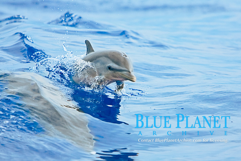Pantropical Spotted Dolphin calf, wake-riding with mother, Stenella attenuata, off Kona Coast, Big Island, Hawaii, Pacific Ocean