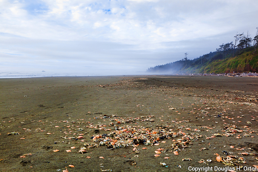 Dead crab litter the beach during molt at Kalaloch Beach, WA.  Beaches in the Kalaloch area of Olympic National Park, identified by trail numbers, are remote and wild.  Olympic Peninsula, Olympic Mountains, Olympic National Park, Washington State, USA.