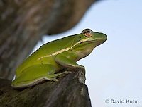 1218-1001  American Green Treefrog Sitting on Tree, Hyla cinerea  © David Kuhn/Dwight Kuhn Photography