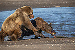 Pictured:  Sequence 11 of 13:  The mum and other bear tussle before he manages to grab the fish<br /> <br /> Grizzly bears viciously attack each other as they battle over a fish.  The two brown-haired bears became aggressive as they came to blows over their food, digging their paws and teeth into each other.<br /> <br /> Photographer Kevin Dooley spotted the female bear, thought to be about 16 years old, fighting with the younger five-year-old male bear in southwestern Alaska.  SEE OUR COPY FOR DETAILS.<br /> <br /> Please byline: Kevin Dooley/Solent News<br /> <br /> © Kevin Dooley/Solent News & Photo Agency<br /> UK +44 (0) 2380 458800