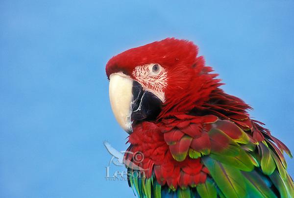 Green-Winged Macaw ( Ara chloroptera).   Panama to Paraguay.