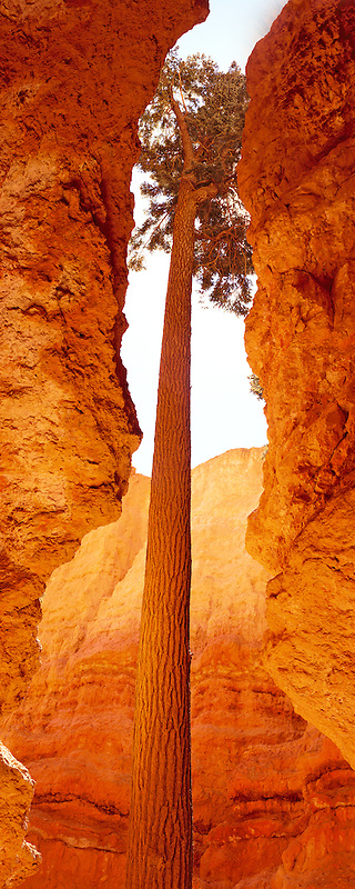 M00052L.tiff   Douglas Fir tree growing in canyon of Bryce Canyon National Park, Utah