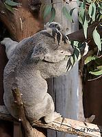 0802-1010  Koala Eating Eucalyptus Leaves, Eucalyptus Tree, Phascolarctos cinereus © David Kuhn/Dwight Kuhn Photography
