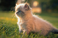 Himalayan-Persian tabby kitten sitting in the grass.