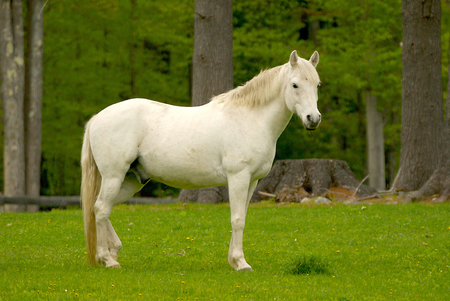 A brilliant white horse stands in a sea of spring green.