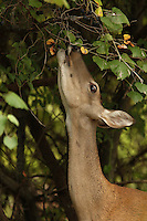 "Doe reaching for some wild ""mustang"" grapes in Summer."