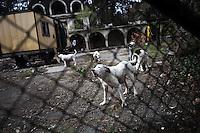 BULGARIA, Sofia, 2012/04/5..Argentines mastiffs locked in a breeding pen of illegal dogs at the Loven Park in Sofia, Bulgaria..BULGARIE, Sofia, 2012/04/5..Des dogues Argentins enfermés dans un enclos d'élevage illégal de chiens dans le parc de Loven, à Sofia, Bulgarie, aboient au passage d'un chien. .© Pierre Marsaut