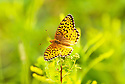 A stunning example of the Silver Boardered Fritillary Butterfly feeding on Milkweed.