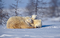 Polar bears (Ursus maritimus), mother with two kittens sleeping in snow, Arctic