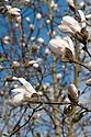 Kobushi or northern Japanese magnolia (Magnolia kobus) in flower, mid March.