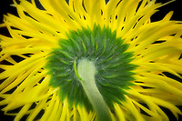 Close up of Daisy Gerbera. Oregon