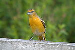 Female Baltimore oriole (Icterus galbula) portrait