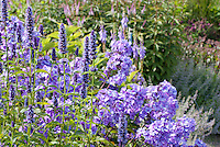 Phlox paniculata 'Blue Evening' incredibly scented fragrant plant flowers with Agastache 'Black Adder' matching color tone theme, tall vertical growing stately perennials