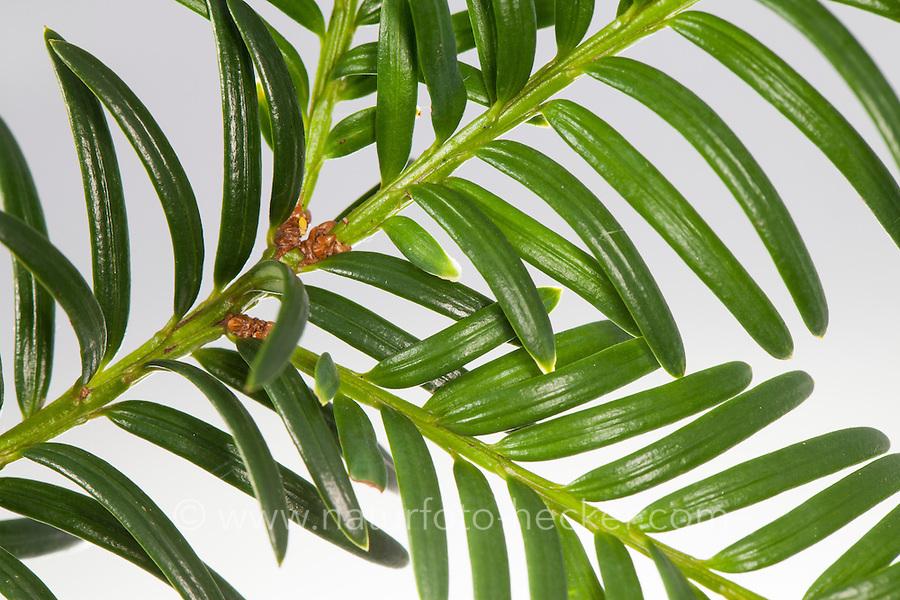 Europäische Eibe, Eibe, Nadeln, Nadel, Blatt, Blätter, blühend, Eibenbaum, Taxus baccata, European yew, Common yew, yew