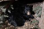 Black bear (Urs americanus) in den
