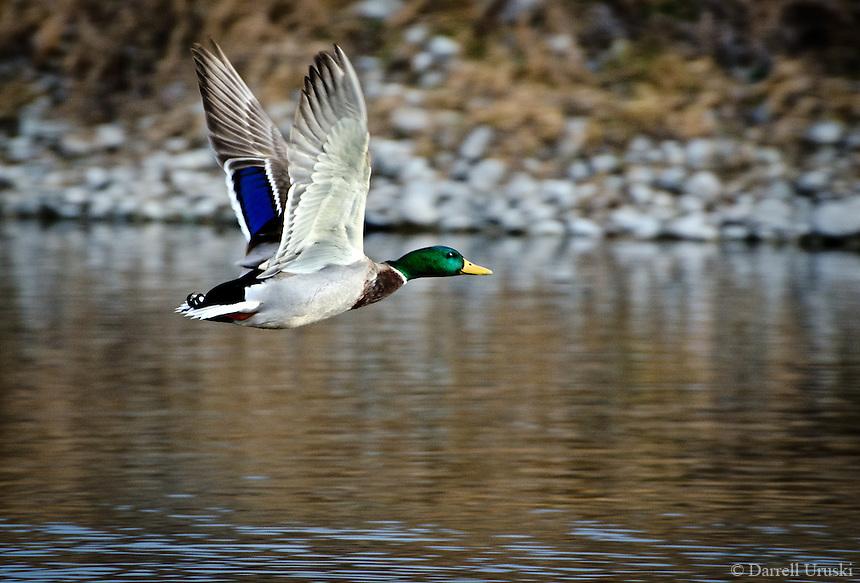 Beautiful action photograph of a Mallard duck in flight.