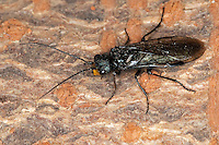 Stahlblaue Kiefernschonungsgespinst-Blattwespe, Kiefernschonungsgespinstblattwespe, Kiefernschonungs-Gespinst-Blattwespe, Gespinst-Blattwespe, Gespinstblattwespe, Männchen, Acantholyda erythrocephala (oder Acantholyda flaviceps), pine false webworm, Gespinstblattwespen, Kotsackblattwespen, Pamphiliidae, webspinning sawflies, web-spinning sawfly