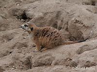 0215-08qq  Meerkat, Suricata suricatta © David Kuhn/Dwight Kuhn Photography