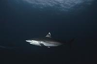 Silvertip Shark (Carcharhinus albimarginatus), Cocos Island, Costa Rica - Pacific Ocean