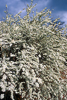 Spiraea thunbergii in bloom, spring flowering shrub against blue sky