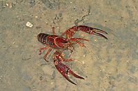 Roter Amerikanischer Sumpfkrebs, Louisiana-Flusskrebs, Roter Sumpfkrebs, Roter Teichkrebs, Procambarus clarkii, Red swamp crawfish, red swamp crayfish, Louisiana crawfish, Louisiana crayfish, mudbug