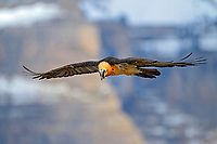 Bearded Vulture (Gypaetus barbatus), adult in flight, Pyrenees, Aragon, Spain, Europe