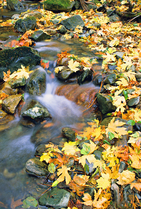 Autumn maple leaves on creek California