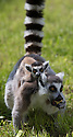 """16/05/16<br /> <br /> """"What you eating mum?""""<br /> <br /> Three baby ring-tail lemurs began climbing lessons for the first time today. The four-week-old babies, born days apart from one another, were reluctant to leave their mothers' backs to start with but after encouragement from their doting parents they were soon scaling rocks and trees in their enclosure. One of the youngsters even swung from a branch one-handed, at Peak Wildlife Park in the Staffordshire Peak District. The lesson was brief and the adorable babies soon returned to their mums for snacks and cuddles in the sunshine.<br /> All Rights Reserved F Stop Press Ltd +44 (0)1335 418365"""