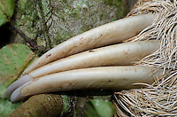 Three-toed Sloth (Bradypus variegatus), Costa Rica, Central America