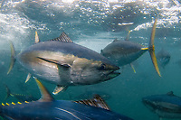 Yellowfin Tuna, Thunnus albacares, in tuna farm, Port Lincoln, South Australia, Australia, Spencer Gulf, Southern Ocean
