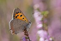 Kleiner Feuerfalter, Blütenbesuch, Nektarsuche auf Heidekraut, Lycaena phlaeas, small copper