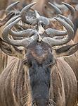 Ngorongoro Conservation Area, Tanzania , white-bearded or blue wildebeest (Connochaetes taurinus)