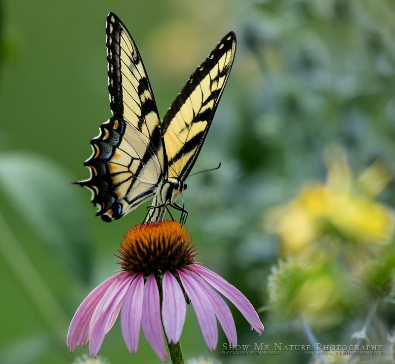 Tiger Swallowtail butterfly on Purple Coneflower wildflower, captured in my rural Missouri butterfly garden