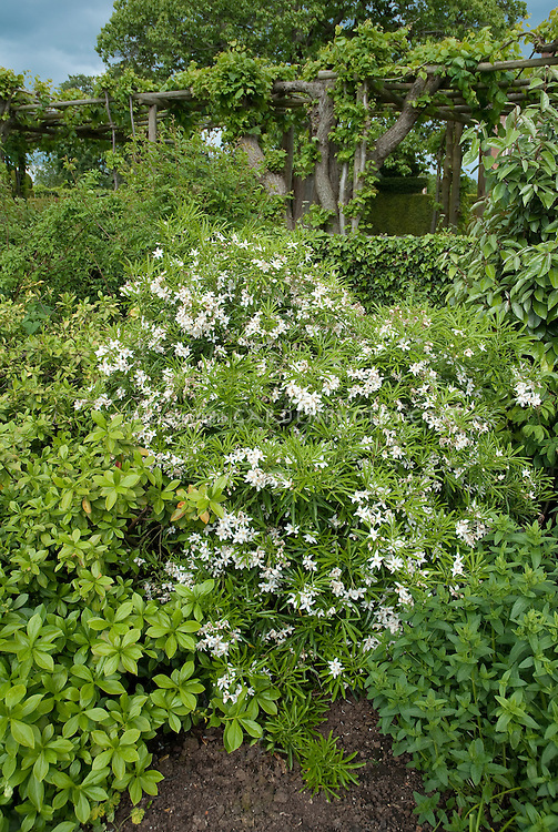 Choisya 'Aztec Pearl' white flowering shrub bush in garden landscape bed, with trellis vine wisteria in background, blue sky, spring bloom in May