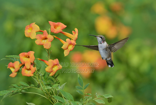 Ruby-throated Hummingbird (Archilochus colubris), young male in flight feeding on Yellow bells (Tecoma stans) flower, Hill Country, Texas, USA