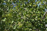 Echter Kreuzdorn, Purgier-Kreuzdorn, Rhamnus cathartica, Rhamnus catharticus, Common Buckthorn, Nerprun purgatif