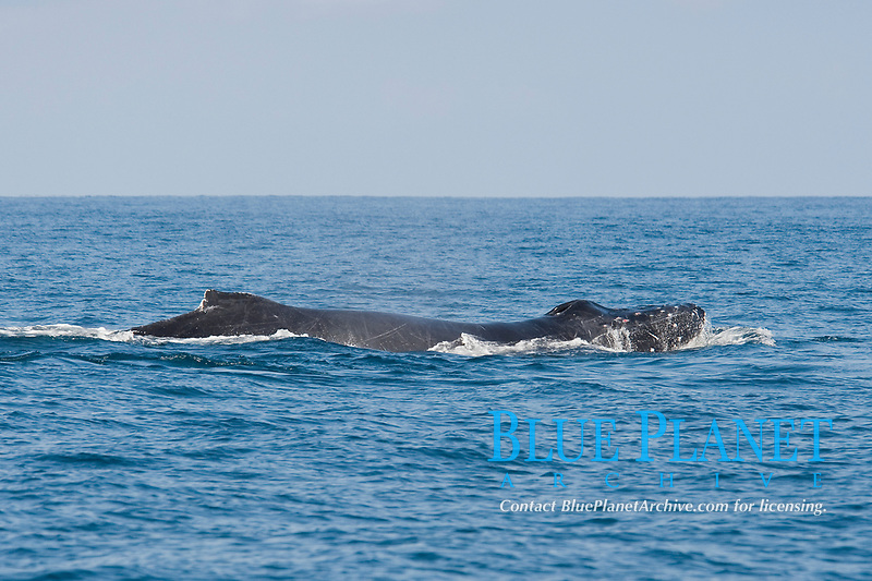 Male Humpback Whale, Megaptera novaeangliae, the tubercles on its head are bloodied from fighting with other males whilst in pursuit of a female, Costa Rica, Pacific Ocean