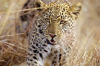 African leopard (Panthera pardus), Masai Mara, Kenya.