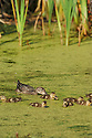 00315-059.13 Blue-winged Teal Duck hen and brood are feeding on duckweed and other vegetation.  Marsh, wetland, waterfowl.  V2F1