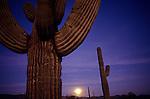 Sunset with moonise behind Saguaro Cactus in desert Southwest Arizona