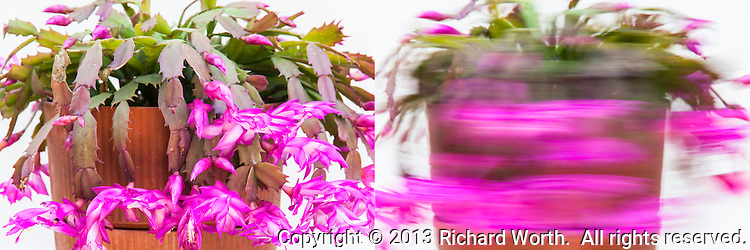 This diptych is composed of two distinct versions of a single plant.  One stopped, stock still.  The other in motion - wild, flailing  motion.