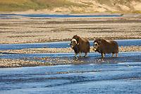 Muskox along the Sagavanirktok river on the Arctic Coastal Plains, Arctic, Alaska.