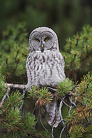 Great Grey Owl (Strix nebulosa), adult in pine tree, Yellowstone National Park, Wyoming, USA